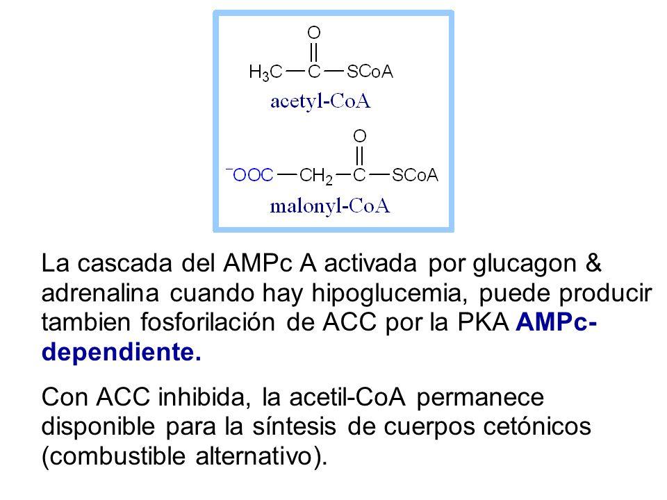 La cascada del AMPc A activada por glucagon & adrenalina cuando hay hipoglucemia, puede producir tambien fosforilación de ACC por la PKA AMPc- dependi