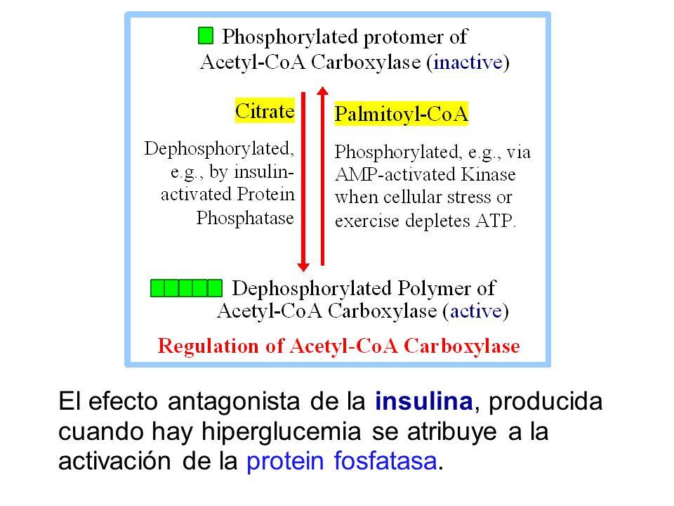 El efecto antagonista de la insulina, producida cuando hay hiperglucemia se atribuye a la activación de la protein fosfatasa.