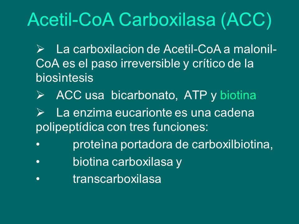 Acetil-CoA Carboxilasa (ACC) La carboxilacion de Acetil-CoA a malonil- CoA es el paso irreversible y crítico de la biosìntesis ACC usa bicarbonato, AT