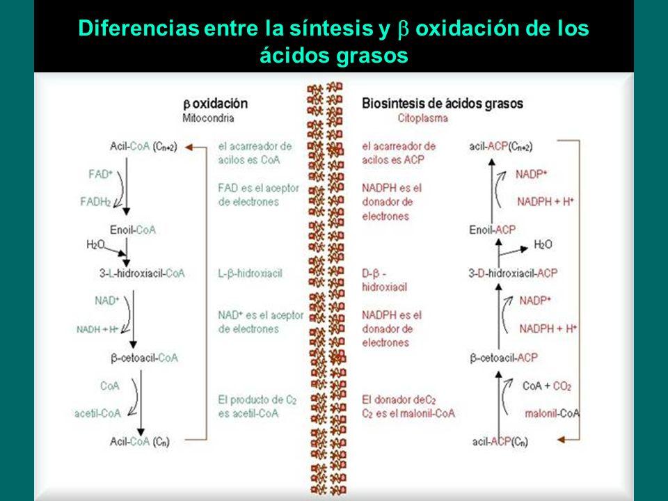 Diferencias entre la síntesis y oxidación de los ácidos grasos