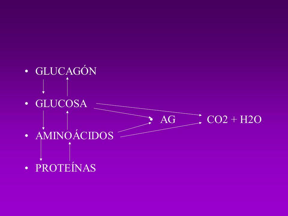 GLUCAGÓN GLUCOSA AMINOÁCIDOS PROTEÍNAS AGCO2 + H2O