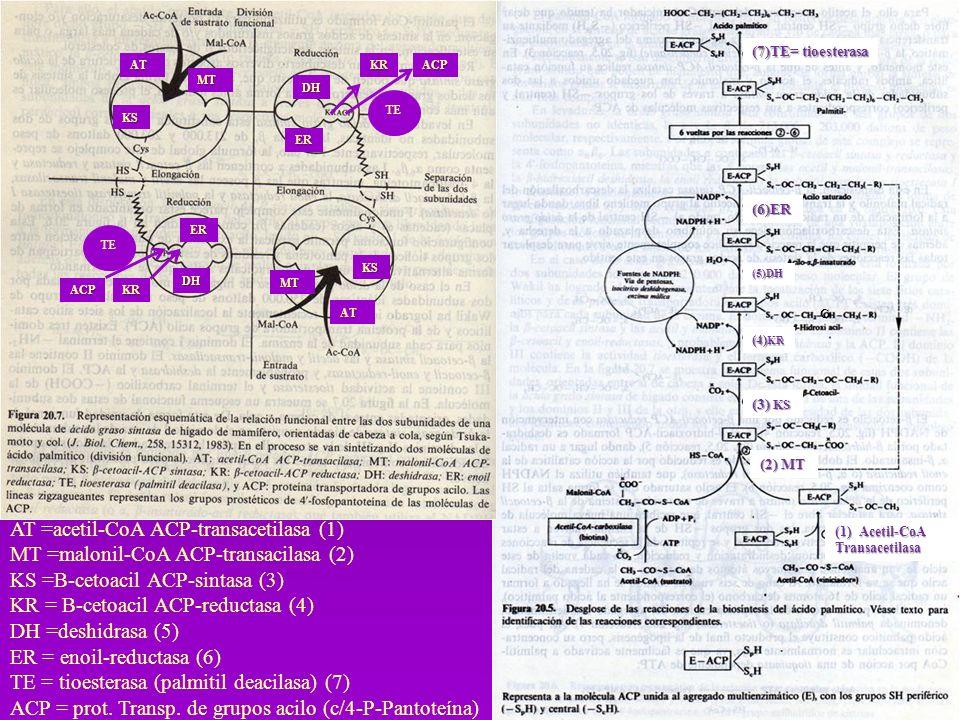 BIOSINTESIS DE TRIACILGLICEROLES Es necesario que estén activados, el Glicerol y los ácidos grasos -Los acidos grasos se activan a acil-Coa (tioquinasa con ATP y CoA.) -Se esterifica y forma el Ácido Fosfatídico (glicerofosfato aciltransferasa) -Se hidroliza y se convierte en 1,2 diacilglicerol (fosfatasa) -Se une otra molécula de Acil CoA y forma el triacilglicerol