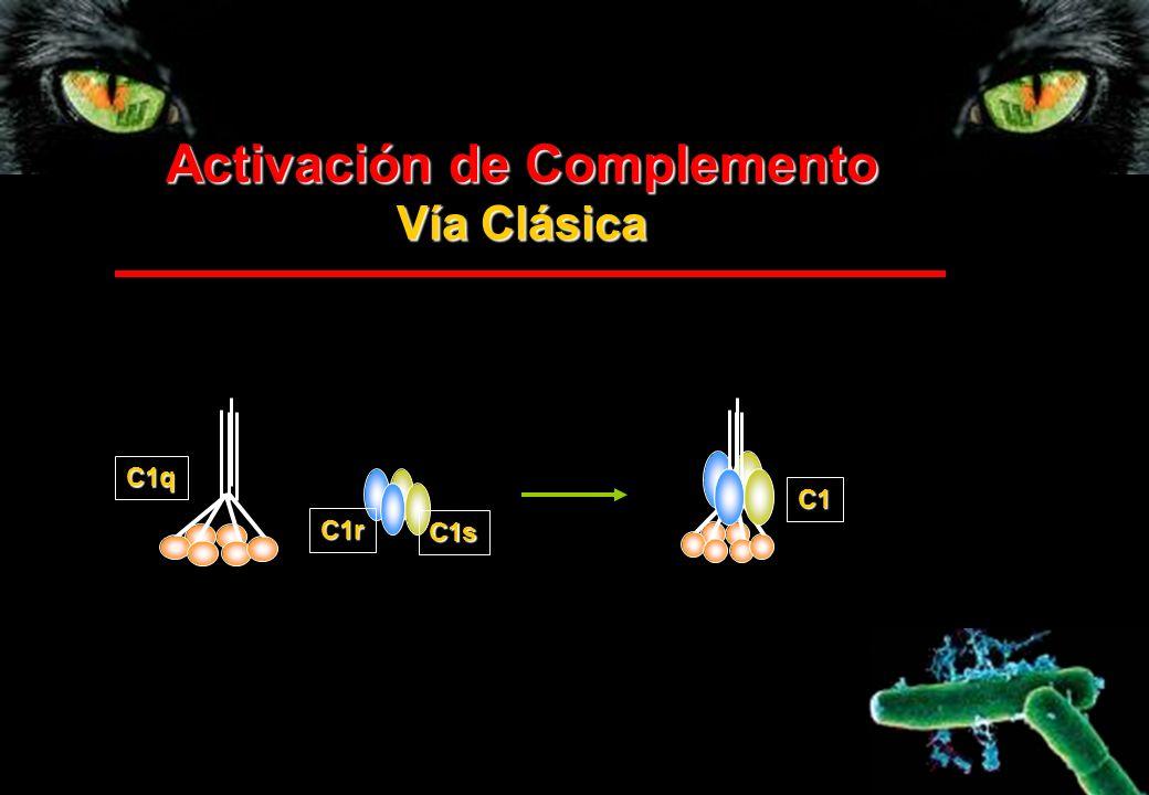 Activación de Complemento Vía Clásica C1 C1r C1s C1q