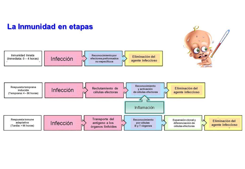 La Inmunidad en etapas Inflamación Inmunidad Innata (Inmediata: 0 – 4 horas) Infección Reconocimiento por efectores preformados no específicos Elimina