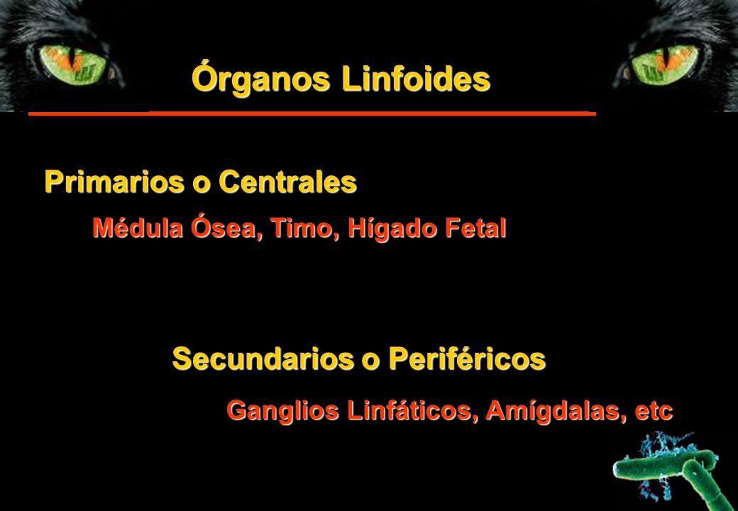 Órganos Linfoides Primarios o Centrales Secundarios o Periféricos Médula Ósea, Timo, Hígado Fetal Ganglios Linfáticos, Amígdalas, etc