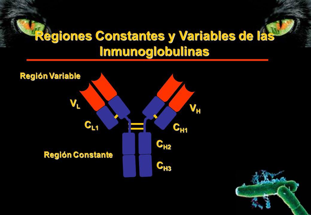Regiones Constantes y Variables de las Inmunoglobulinas Región Variable Región Constante VHVHVHVH C H1 C H2 C H3 VL VLVL VL C L1