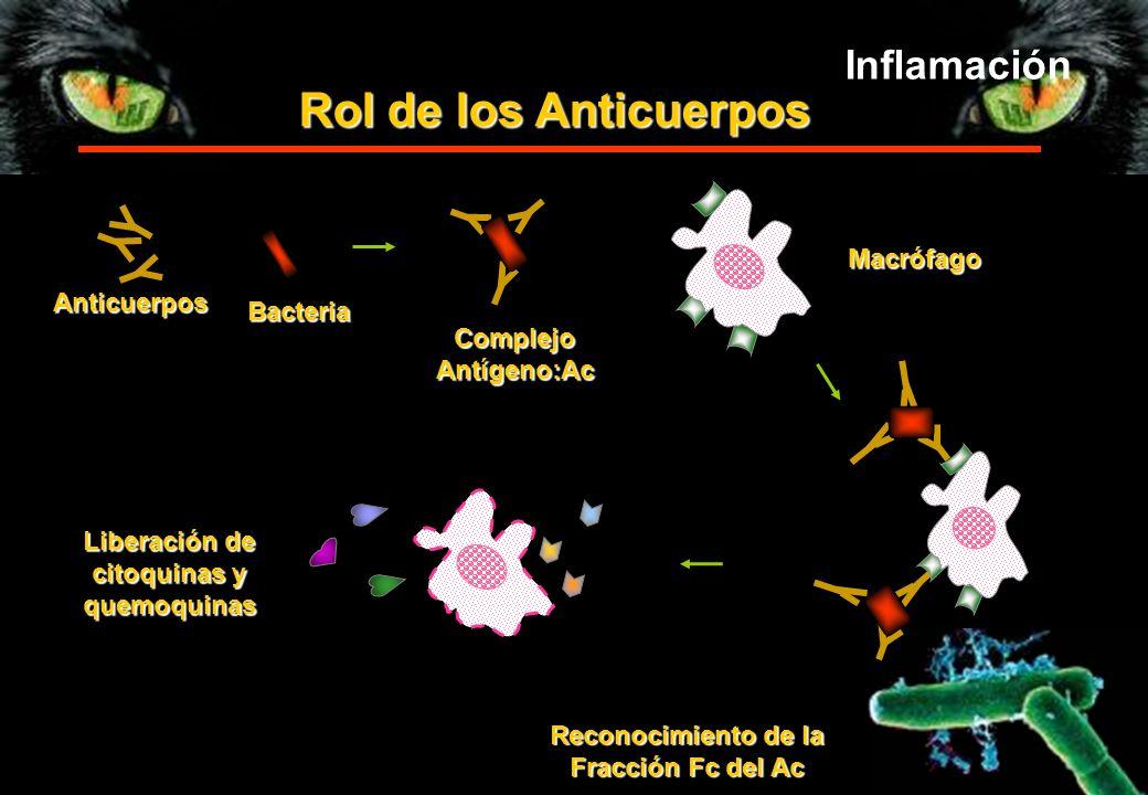 Rol de los Anticuerpos Anticuerpos Bacteria Complejo Antígeno:Ac Macrófago Reconocimiento de la Fracción Fc del Ac Liberación de citoquinas y quemoqui