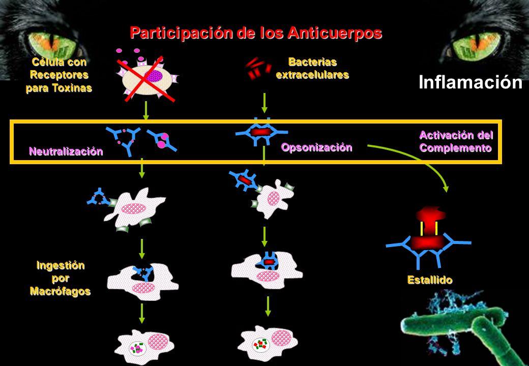 Célula con Receptores para Toxinas Neutralización Ingestión por Macrófagos Bacterias extracelulares Opsonización Participación de los Anticuerpos Acti