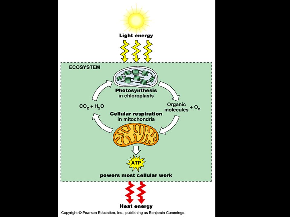 Why are both Photosynthesis and Cell Respiration important to Ecosystems? Light is the ultimate source of energy for all ecosystems Chemicals cycle an