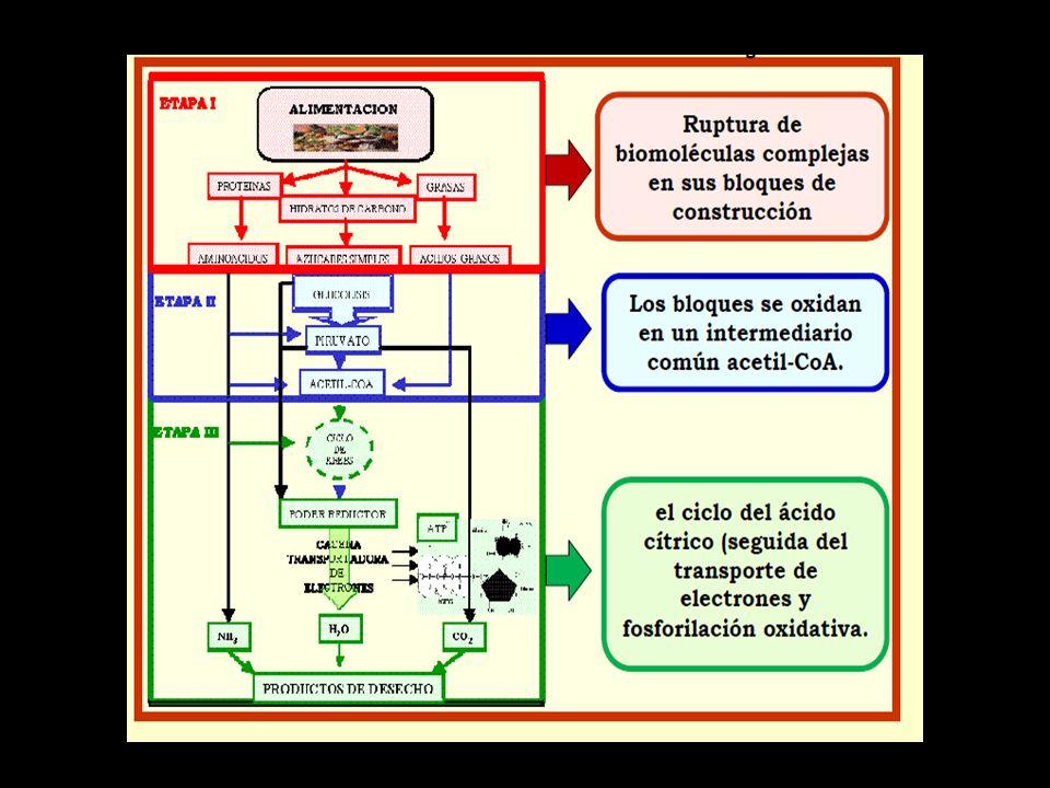 La respiración celular es un conjunto de reacciones REDOX C 6 H 12 O 6 + 6 O 2 6 CO 2 + 6 H 2 O Oxidación es la pérdida de electrones o H + Reducción es la ganancia de electrones o H + La Glucosa se oxida cuando los e- y H + se transfieren a las coenzimas NAD + y FAD.