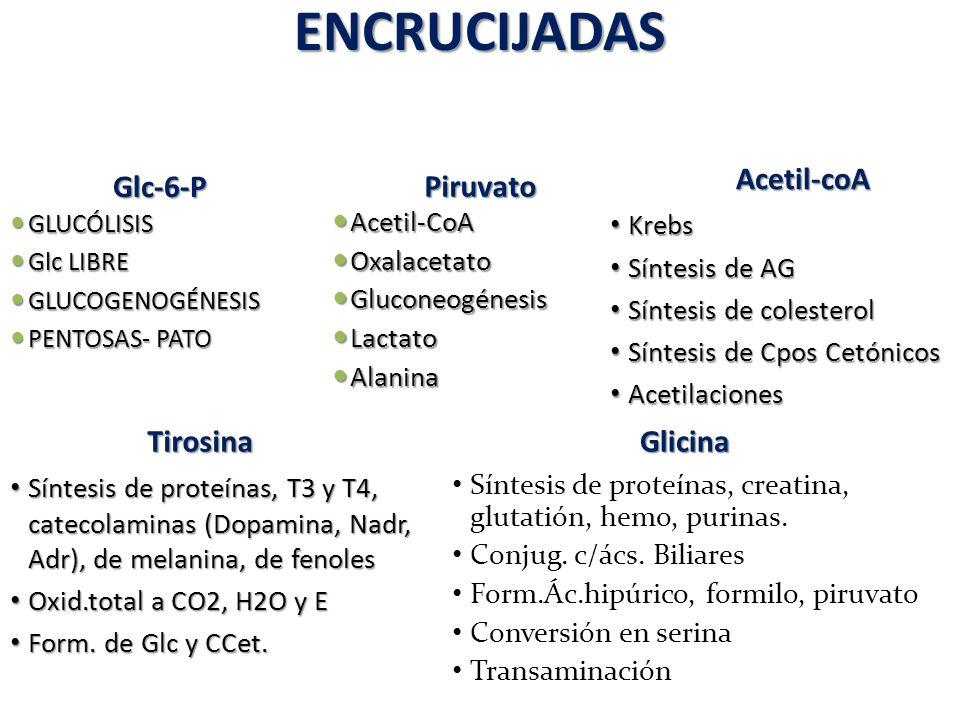 ENCRUCIJADAS Glc-6-P Piruvato GLUCÓLISIS GLUCÓLISIS Glc LIBRE Glc LIBRE GLUCOGENOGÉNESIS GLUCOGENOGÉNESIS PENTOSAS- PATO PENTOSAS- PATO Acetil-CoA Ace