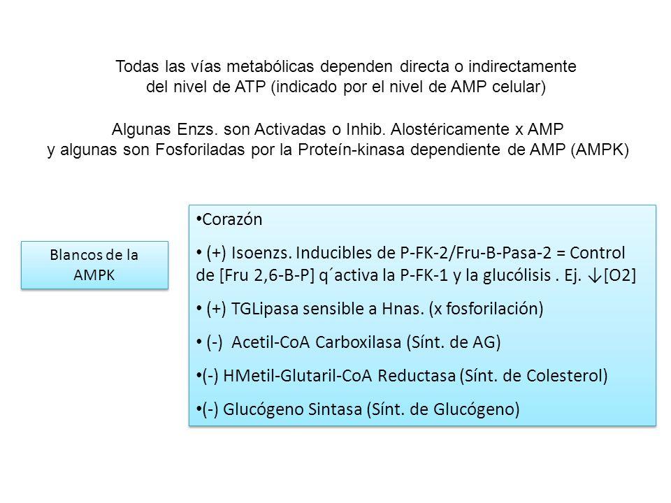 Todas las vías metabólicas dependen directa o indirectamente del nivel de ATP (indicado por el nivel de AMP celular) Algunas Enzs. son Activadas o Inh