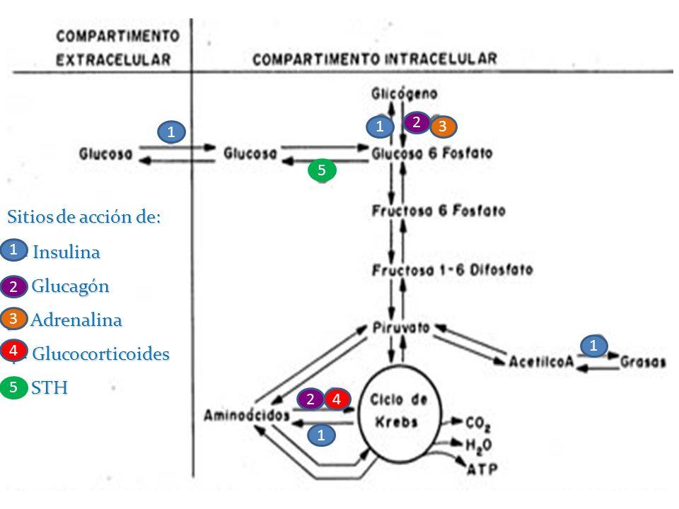 Sitios de acción de: 1 = Insulina 2= Glucagón 3= Adrenalina 4= Glucocorticoides 5= STH 1 1 1 2 1 2 3 4 5 1 2 3 4 5