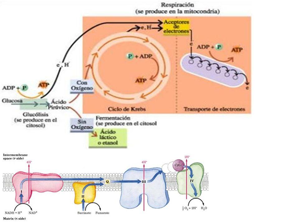 Integración metabólica en estado post- absortivo