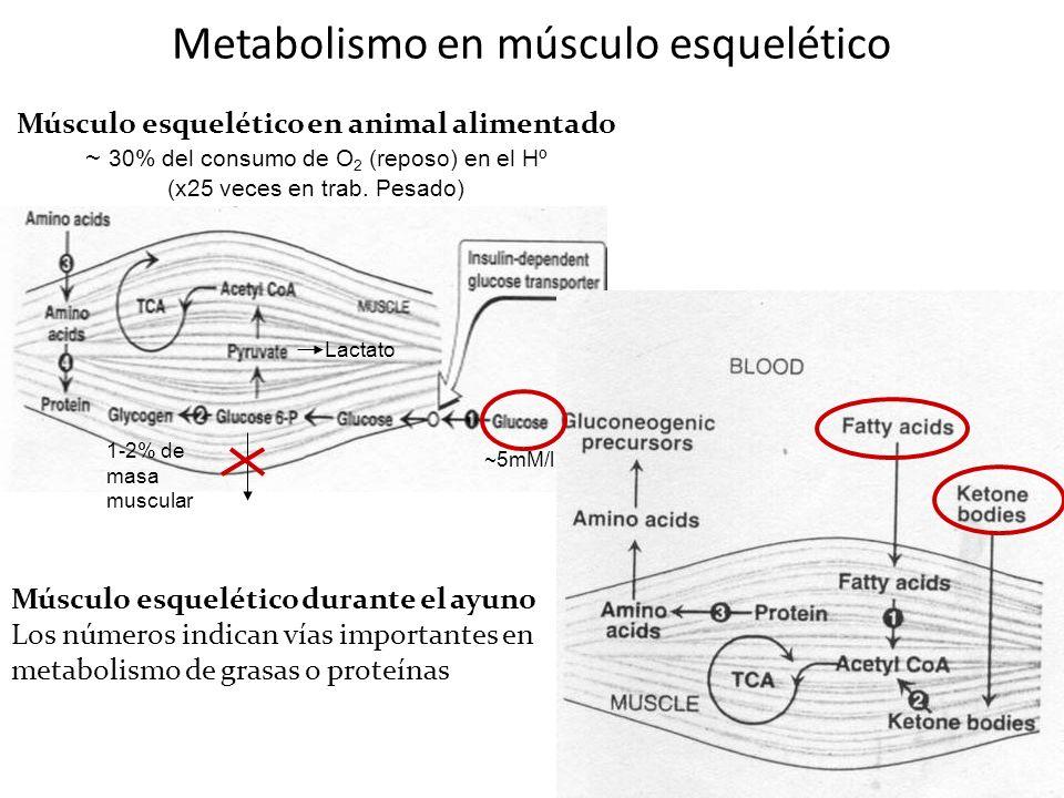 Metabolismo en músculo esquelético Músculo esquelético en animal alimentado ~ 30% del consumo de O 2 (reposo) en el Hº (x25 veces en trab. Pesado) Mús