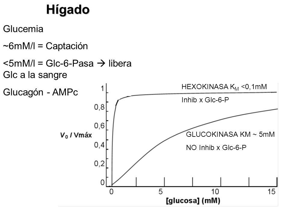 HEXOKINASA K M <0,1mM Inhib x Glc-6-P GLUCOKINASA KM ~ 5mM NO Inhib x Glc-6-PHígado Glucemia ~6mM/l = Captación <5mM/l = Glc-6-Pasa libera Glc a la sa