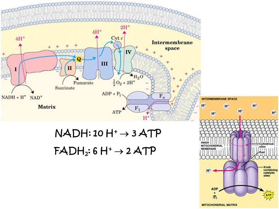 1 – [S] y [P] 2 – [ENZIMAS] (Todas las de la vía) 3 – CONTROL DEL NIVEL DE ACTIVIDAD DE LAS ENZIMAS A.Modulación de Enzs preexistentes B.Aumento o disminución del N° de moléculas de la Enz