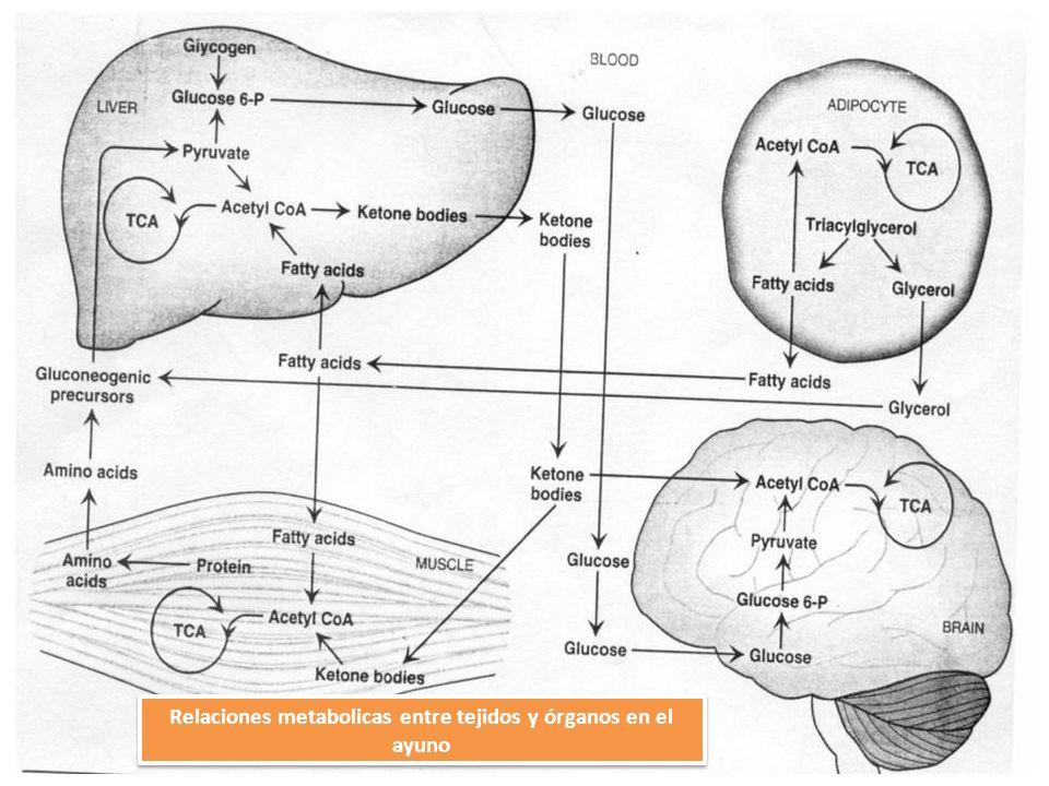 Relaciones metabolicas entre tejidos y órganos en el ayuno