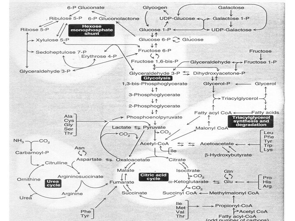 Metabolismo hepático durante el ayuno. Metabolismo hepático en el animal alimentado