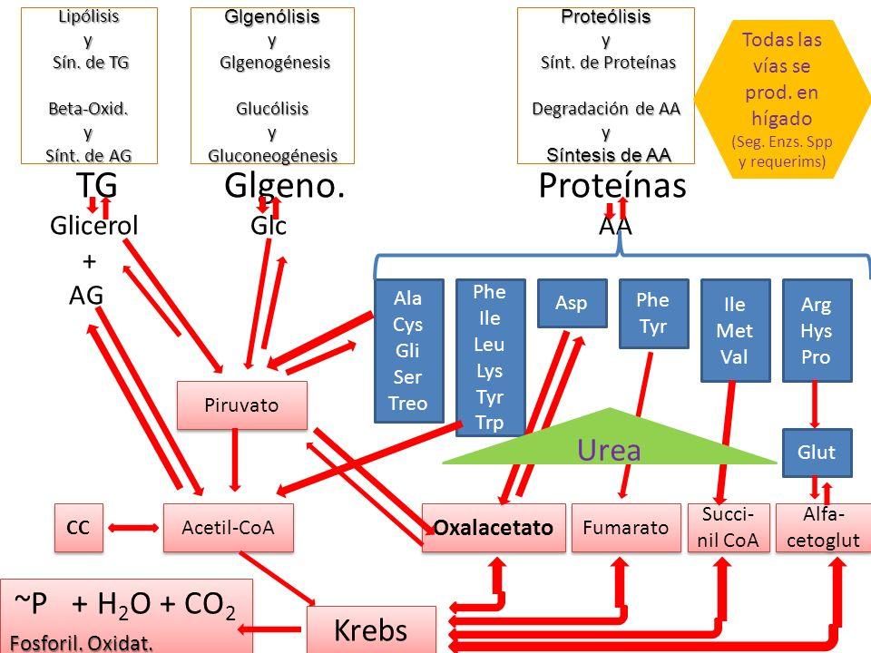 Lipólisis y Sín. de TG Beta-Oxid. y Sínt. de AG TGGlgeno. Proteínas Glicerol Glc AA + AG Ala Cys Gli Ser Treo Phe Ile Leu Lys Tyr Trp Asp Phe Tyr Ile