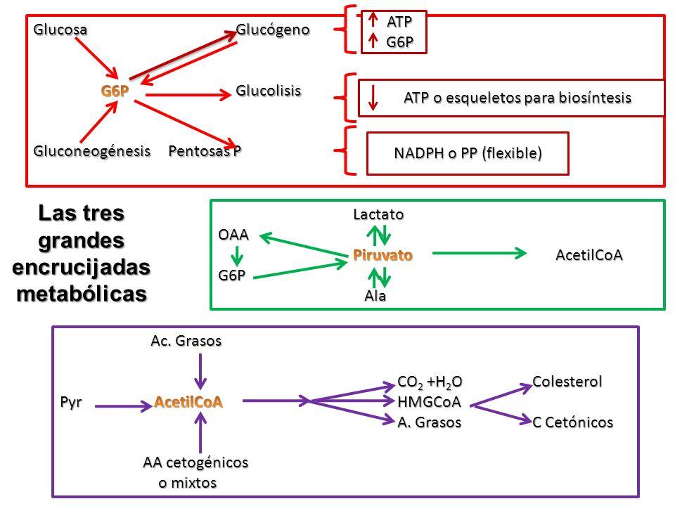 Las tres grandes encrucijadas metabólicas ATP ATP G6P G6P ATP o esqueletos para biosíntesis ATP o esqueletos para biosíntesis NADPH o PP (flexible)