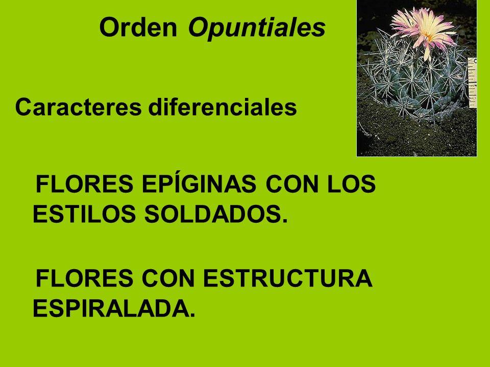 FLORES EPÍGINAS CON LOS ESTILOS SOLDADOS. FLORES CON ESTRUCTURA ESPIRALADA. Orden Opuntiales Caracteres diferenciales