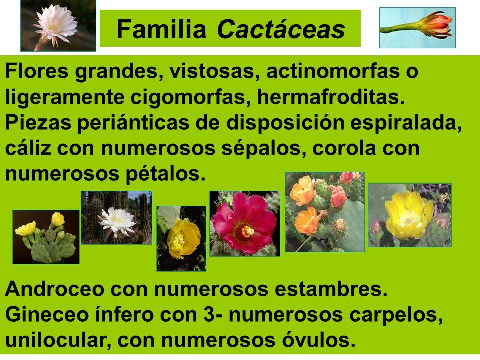 Flores grandes, vistosas, actinomorfas o ligeramente cigomorfas, hermafroditas. Piezas periánticas de disposición espiralada, cáliz con numerosos sépa