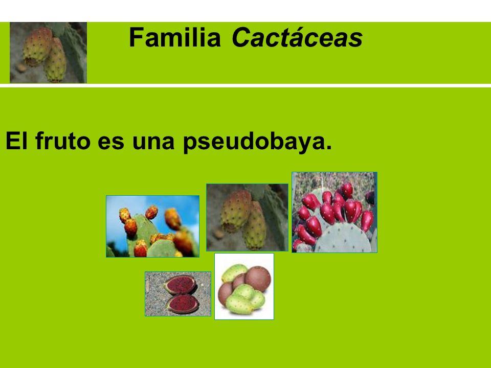 El fruto es una pseudobaya.