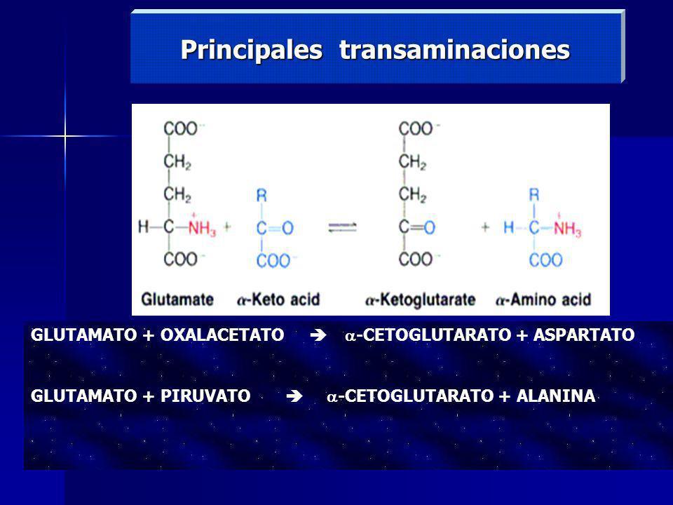 Principales transaminaciones GLUTAMATO + OXALACETATO -CETOGLUTARATO + ASPARTATO GLUTAMATO + PIRUVATO -CETOGLUTARATO + ALANINA