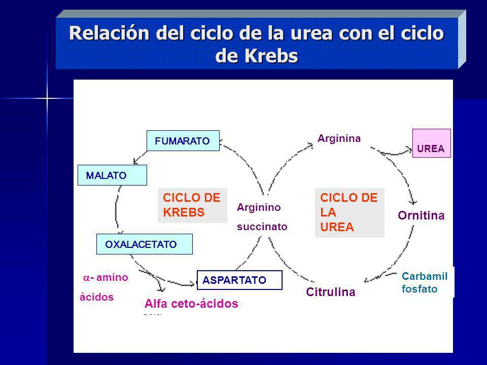 Relación del ciclo de la urea con el ciclo de Krebs CICLO DE LA UREA CICLO DE KREBS FUMARATO MALATO OXALACETATO Arginino succinato Arginina UREA Ornit