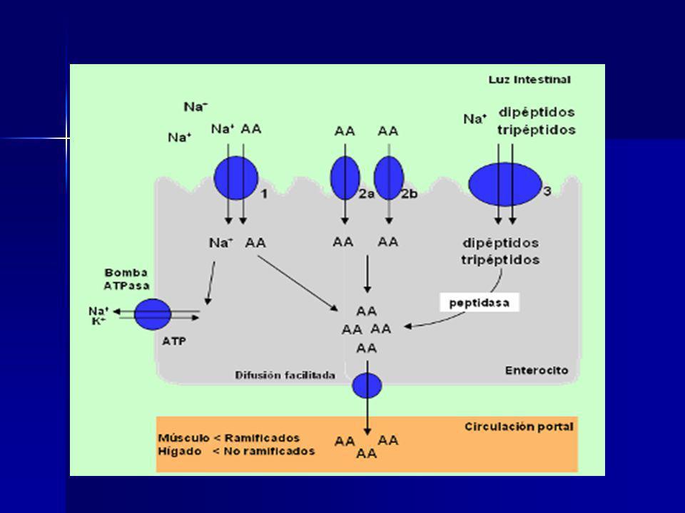 Síntesis de glutamina: Síntesis de glutamina: Glutamina sintetasa mitocondrial en parénquima hepático (zona perilobulillar), músculo, riñones y cerebro Glutamina sintetasa mitocondrial en parénquima hepático (zona perilobulillar), músculo, riñones y cerebro Degradación de glutamina: Degradación de glutamina: La glutaminasa libera NH3 en hepatocitos periportales y células tubulares renales (regulación del pH) La glutaminasa libera NH3 en hepatocitos periportales y células tubulares renales (regulación del pH) Síntesis y degradación de la Glutamina