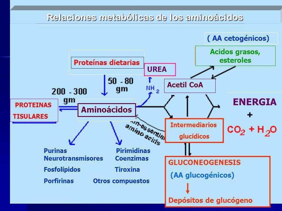 PROTEINAS TISULARES Relaciones metabólicas de los aminoácidos Aminoácidos Proteínas dietarias UREA ( AA cetogénicos) Acidos grasos, esteroles PROTEINA
