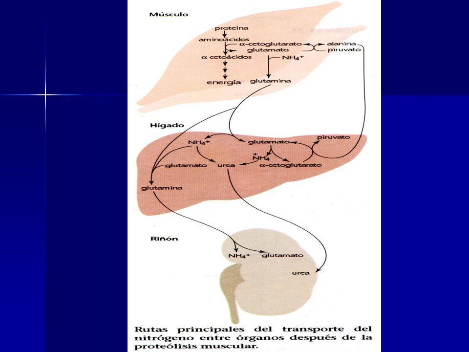 DESTINO DE LOS ESQUELETOS CARBONADOS DESTINO DE LOS ESQUELETOS CARBONADOS Intermediarios del ciclo de Krebs Intermediarios del ciclo de Krebs Aminoácidos glucogénicos (Gluconeogénesis) Aminoácidos cetogénicos ( AcetilCoA) Nuevos aminoácidos (transaminaciones) (transaminaciones) Oxidación completa ( ATP) ( ATP) DESTINO DEL GRUPO AMINO DESTINO DEL GRUPO AMINO Síntesis de glutamina Síntesis de glutamina Síntesis de asparagina Síntesis de asparagina Biosíntesis de otros compuestos nitrogenados Biosíntesis de otros compuestos nitrogenados Síntesis de urea (excreción mayoritaria de grupos amino en mamíferos) Síntesis de urea (excreción mayoritaria de grupos amino en mamíferos) CATABOLISMO DE LOS AMINOACIDOS