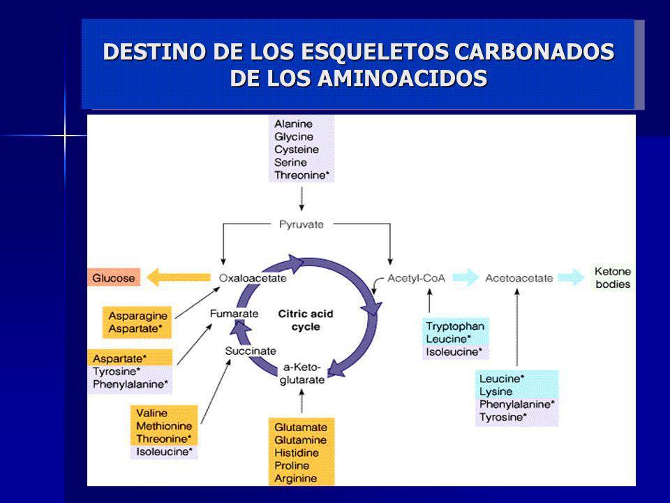 Excreción del Nitrógeno de aminoácidos aminoácido -cetoácido -cetoglutarato L-glutamato NH 3 CO 2 Urea TRANSAMINACIÓN DESAMINACIÓN TRANSPORTE CICLO DE LA UREA Flujo global del nitrógeno en el catabolismo de aminoácidos