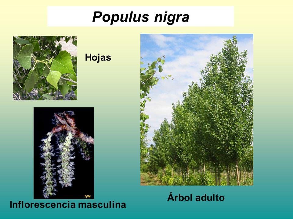 Populus nigra Árbol adulto Inflorescencia masculina Hojas