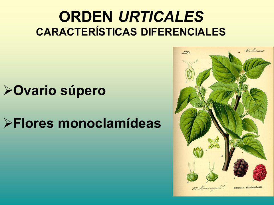 ORDEN URTICALES CARACTERÍSTICAS DIFERENCIALES Ovario súpero Flores monoclamídeas