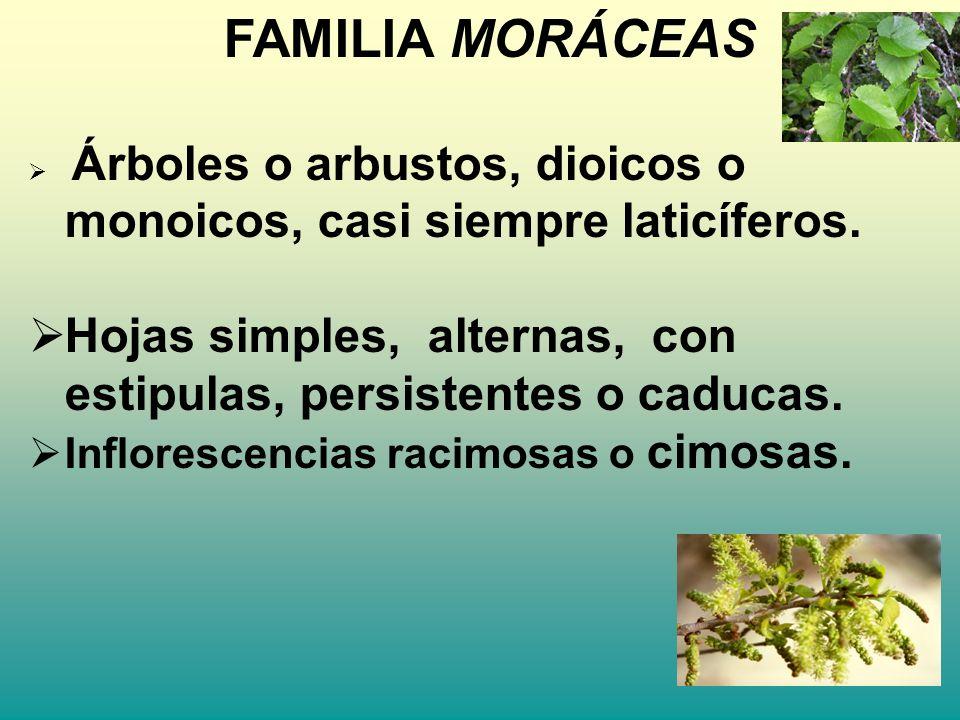 FAMILIA MORÁCEAS Árboles o arbustos, dioicos o monoicos, casi siempre laticíferos. Hojas simples, alternas, con estipulas, persistentes o caducas. Inf