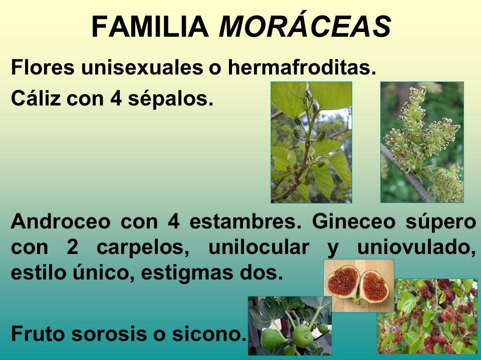 FAMILIA MORÁCEAS Flores unisexuales o hermafroditas. Cáliz con 4 sépalos. Androceo con 4 estambres. Gineceo súpero con 2 carpelos, unilocular y uniovu