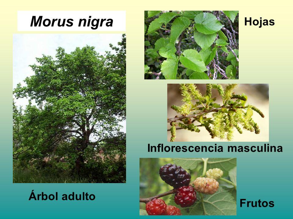 Morus nigra Árbol adulto Hojas Inflorescencia masculina Frutos