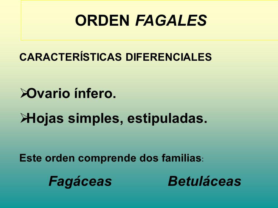 ORDEN FAGALES CARACTERÍSTICAS DIFERENCIALES Ovario ínfero. Hojas simples, estipuladas. Este orden comprende dos familias : Fagáceas Betuláceas