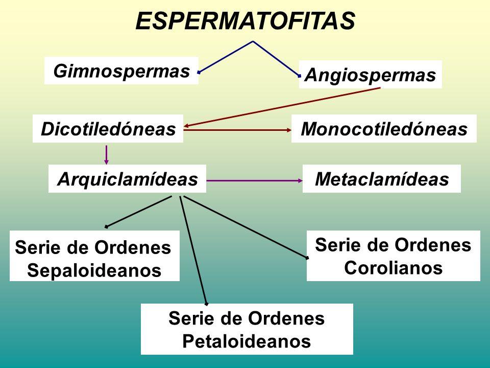 Verticilales Ovario súpero Salicales Urticales S.de O.