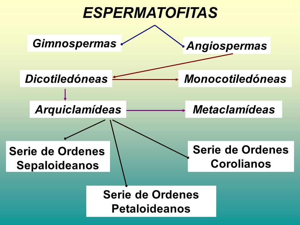 ESPERMATOFITAS Gimnospermas Angiospermas DicotiledóneasMonocotiledóneas MetaclamídeasArquiclamídeas Serie de Ordenes Petaloideanos Serie de Ordenes Co