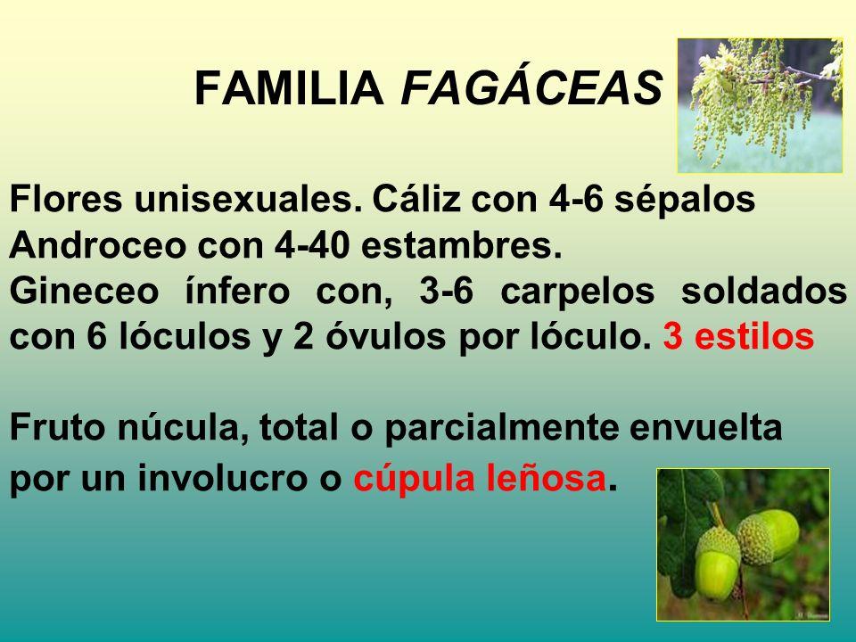FAMILIA FAGÁCEAS Flores unisexuales. Cáliz con 4-6 sépalos Androceo con 4-40 estambres. Gineceo ínfero con, 3-6 carpelos soldados con 6 lóculos y 2 óv