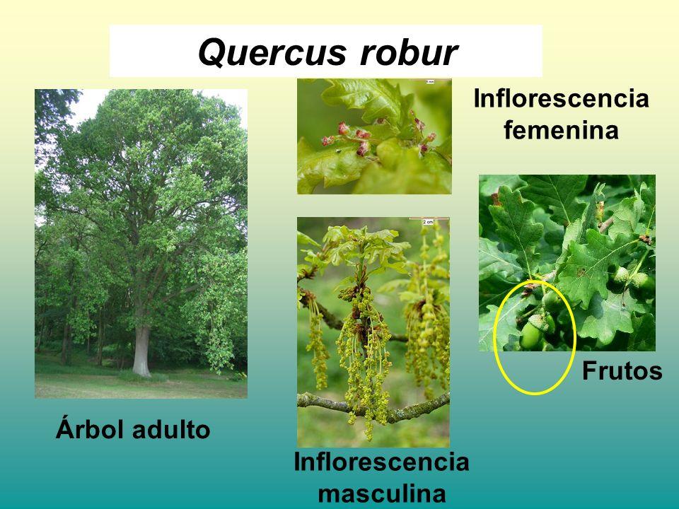 Quercus robur Árbol adulto Frutos Inflorescencia masculina Inflorescencia femenina