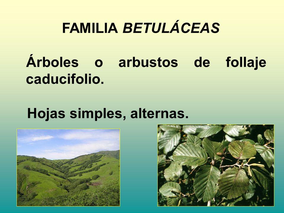 FAMILIA BETULÁCEAS Árboles o arbustos de follaje caducifolio. Hojas simples, alternas.