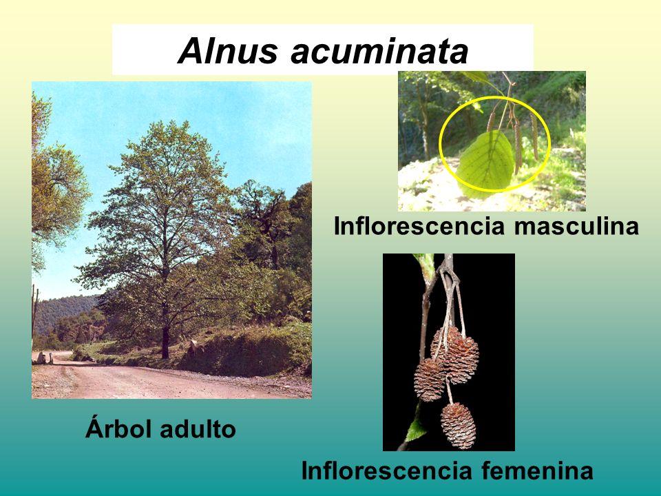 Árbol adulto Inflorescencia masculina Inflorescencia femenina
