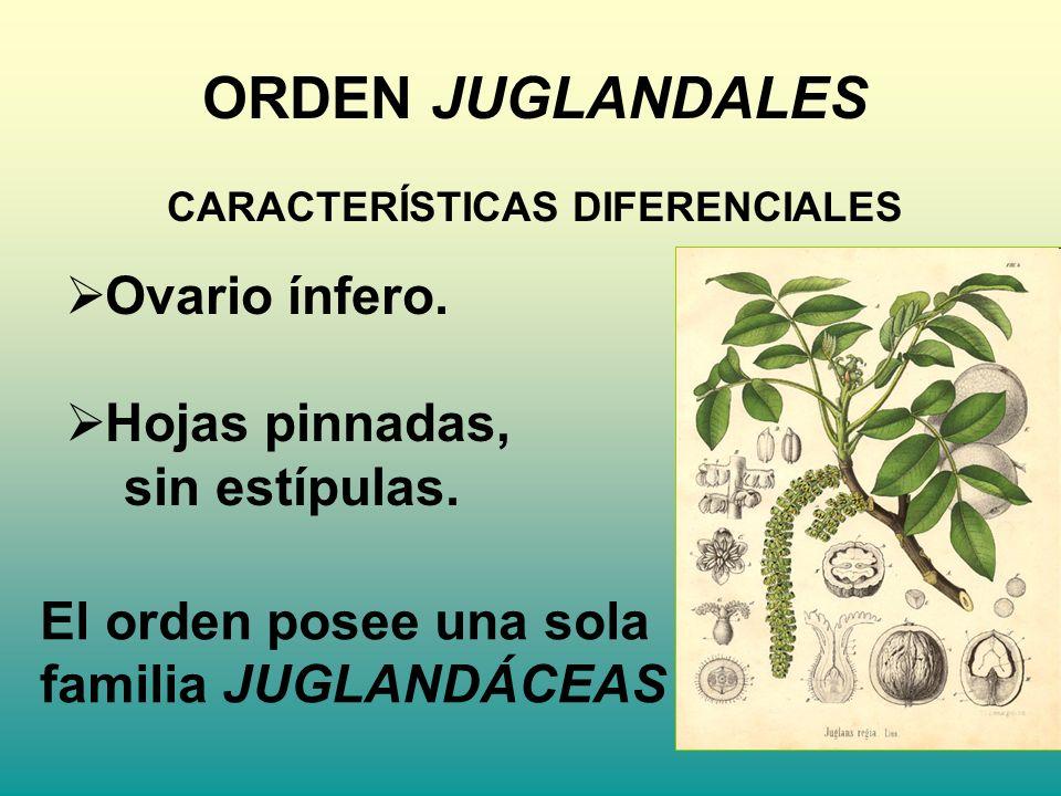 ORDEN JUGLANDALES CARACTERÍSTICAS DIFERENCIALES Ovario ínfero. Hojas pinnadas, sin estípulas. El orden posee una sola familia JUGLANDÁCEAS