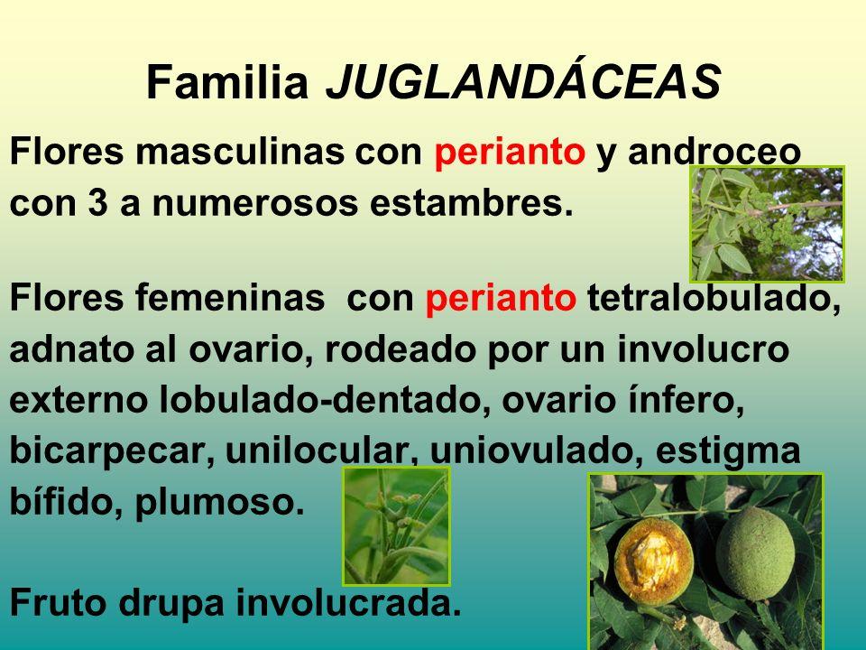 Familia JUGLANDÁCEAS Flores masculinas con perianto y androceo con 3 a numerosos estambres. Flores femeninas con perianto tetralobulado, adnato al ova