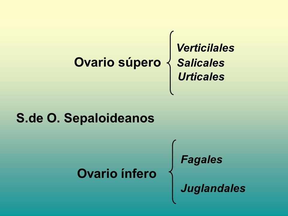 Verticilales Ovario súpero Salicales Urticales S.de O. Sepaloideanos Fagales Ovario ínfero Juglandales