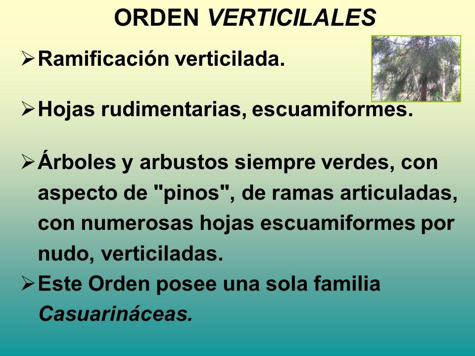 ORDEN VERTICILALES Ramificación verticilada. Hojas rudimentarias, escuamiformes. Árboles y arbustos siempre verdes, con aspecto de